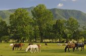 stock photo of cade  - A scenic view of Cades Cove and Horses in Great Smoky Mountains National Park Tennessee USA - JPG