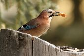 European Jay Eating Bread