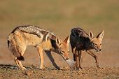 A pair of black-backed jackals (Canis mesomelas) eating a dove, Kalahari desert, South Africa