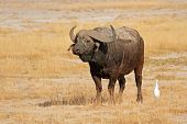 African buffalo (Syncerus caffer), Amboseli National Park, Kenya