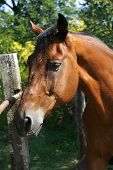 Portrait of a beautiful brown thoroughbred horse  at farm