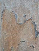 image of eucalyptus trees  - Abstract background of Eucalyptus tree bark texture - JPG