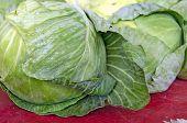 fresh cabbage heads
