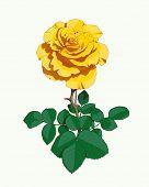 Yellow rose. Eps10 vector illustration