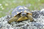 image of spurs  - Spur thighed turtle  - JPG