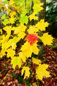 picture of canada maple leaf  - A single red maple leaf amongst yellow maple leaves on a tree branch in an autumn forest - JPG