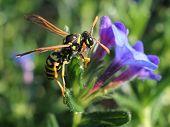 European Paper Wasp on Lithadora
