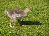 Greyleg goose gosling
