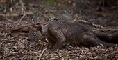 Endemic fossa (Cryptoprocta Ferox) in the dry forest of Madagascar
