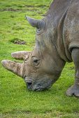 Close-up Of A Rhino Eating Grass