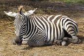 Zebra Sleeping On The Field