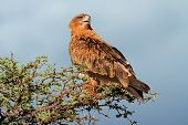 Tawny eagle (Aquila rapax) perched on a tree, Kalahari, South Africa