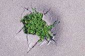 pic of cleaving  - New young green grass sprouted through cracks in asphalt - JPG