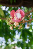 picture of cannonball-flower  - Beautiful round white magenta color flower of Cannon Ball Tree - JPG