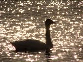 Silhouette of swan in the sunset shining lake