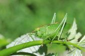 stock photo of locust  - Green locust close up in the wild - JPG