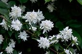Flowering Syringa (philadelphus)