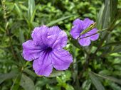 Ruellia Tuberosa Flowers.