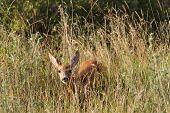 Curious Roe Deer Hind