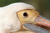 Face Of Pelecanus Onocrotalus