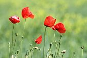 Group Of Wild Red Poppies