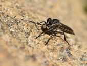 picture of blowfly  - Macro detail of little black fly sitting on stone - JPG