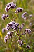 Oregano Or Marjoram - Medicinal Herb In The Summer