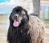 image of newfoundland puppy  - a dog having fun at a local public pool  - JPG