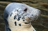 Close-up view of a Grey seal