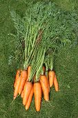 Washed carrots with tops from a garden-bed on a green grass