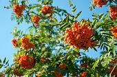 Ripe Rowan Berries On A Background Of Blue Sky