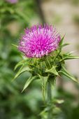 Flower Of Thorny Plant Silybum Marianum