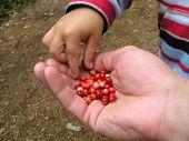 Sharing lingonberry