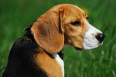 pic of bitch  - Portrait of purebred beagle bitch outdoors - JPG