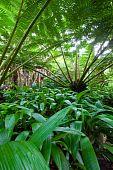Hawaiin Tree Fern In Rain Forest