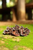 Ear Mushroom Growing