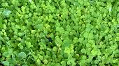 Siatic Pennywort, Is A Plant That Indicated In The Treatment Of