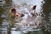 Hippopotamus In The Water