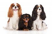 stock photo of three kings  - cavalier king charles spaniel dogs together on white - JPG