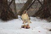 Hawk Finds Food in Winter