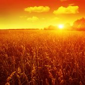 Field of grass and red sunset.