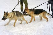 Two German Shephard Dogs Walking Near The Master's Legs On A Dog Training Course In A Winter Day On
