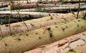 Timber Harvesting. Pile Of Cut Fir Logs