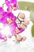 Pink orchid with water drops on white background
