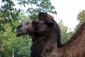 image of zoo  - African camel in the zoo park. camel in the zoo.
