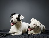 Jack Russell Terrier Puppy And Female