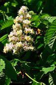 Flowering Chestnut Closeup