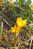 Flowering Crocuses