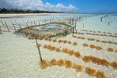 Seaweed farming in the clear coastal waters of Zanzibar island