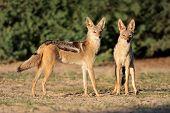 A pair of black-backed jackals (Canis mesomelas), Kalahari desert, South Africa